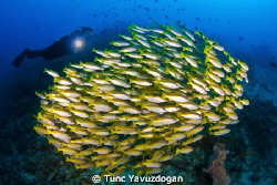 Famous schoals of Raja Ampat.. by Tunc Yavuzdogan 